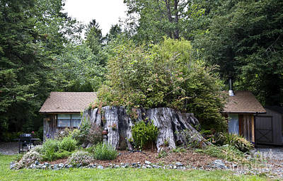 Photograph - Redwood Stump And Cabin by Greg Dimijian