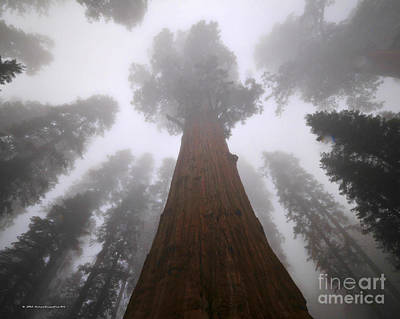 Photograph - Redwood Trees In The Fog Sequoia National Park by Nature Scapes Fine Art