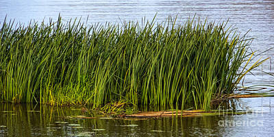 Photograph - Reed by Lutz Baar