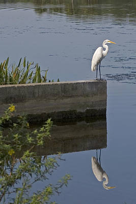 Photograph - Reflecting Egret by John Noel