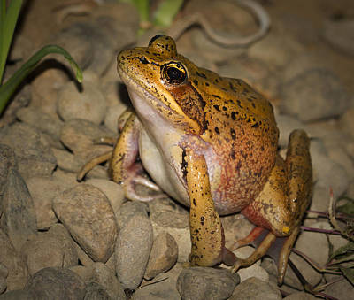 Photograph - Reg Legged Frog by Jean Noren