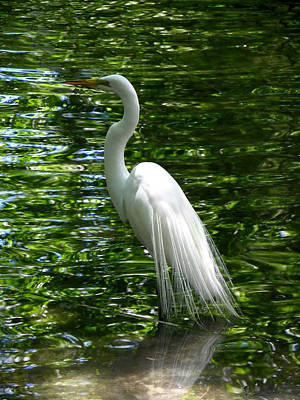 Photograph - Regal Great Egret by Judy Wanamaker