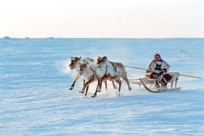 Breeder Photograph - Reindeer Racing, Russian Lapland by Ria Novosti