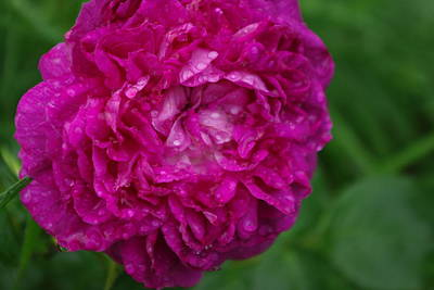 Photograph - Reine Des Violettes Rose In Rain by Robyn Stacey