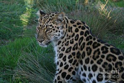 Relaxing Leopard Art Print by Carol Wright