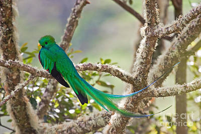 Resplendent Quetzal Art Print