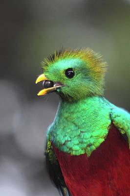Quetzal Photograph - Resplendent Quetzal Portrait by Bruce J Robinson