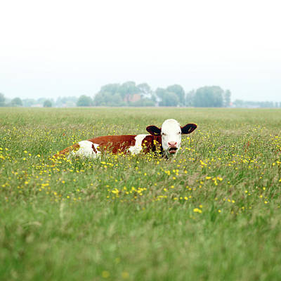 Focus On Background Photograph - Resting Cow In  Field by MarcelTB