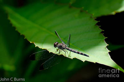Photograph - Resting Dragonfly by John Burns