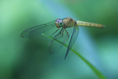 Photograph - Resting Dragonfly by Zoe Ferrie