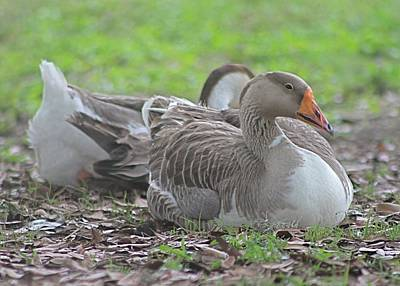 Photograph - Resting Ducks by Jeanne Kay Juhos