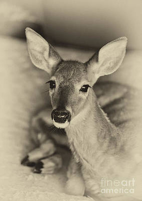 Photograph - Resting Fawn by Cheryl Davis