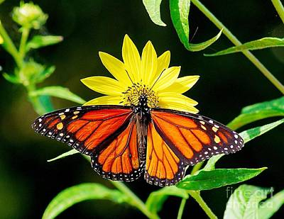 Photograph - Resting Monarch by Nick Zelinsky