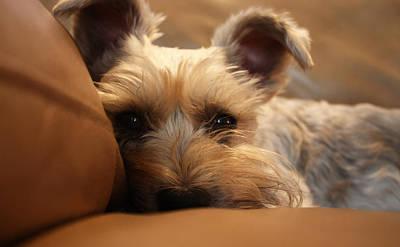 Schnauzer Art Photograph - Resting Schnorkie by Kayla Nicole