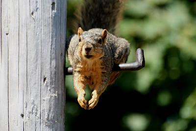Resting Squirrel Original by Dennis Pintoski