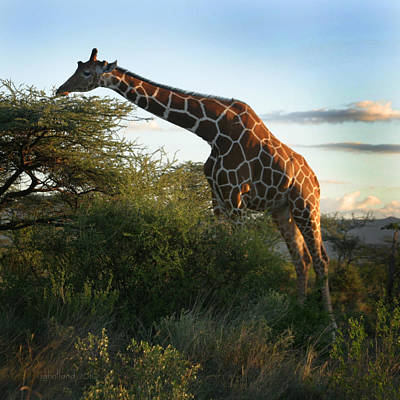 Photograph - Reticulated Giraffe by Joseph G Holland