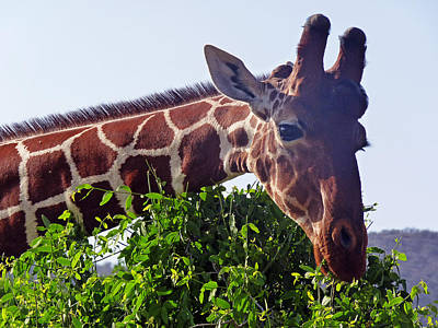 Photograph - Reticulated Giraffe by Tony Murtagh