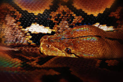Photograph - Reticulated Python by Scott Hovind