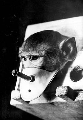 Rhesus Monkey Being Forced To Smoke Print by Everett