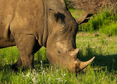 Photograph - Rhino by Alistair Lyne