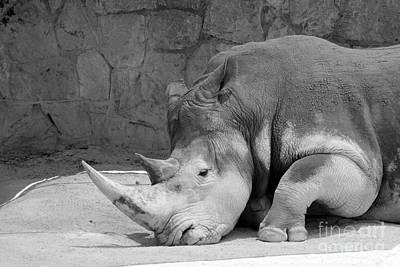 Photograph - Rhino Nap 2 by Alycia Christine