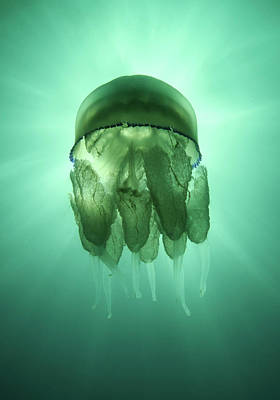 Undersea Photograph - Rhizostoma Pulmo Jellyfish by Underwater photography by Ivan Bakardjiev