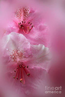 Photograph - Rhododendron Dreams by James Eddy
