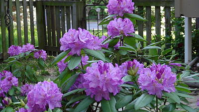 Photograph - Rhododendron Garden by Bj Hodges