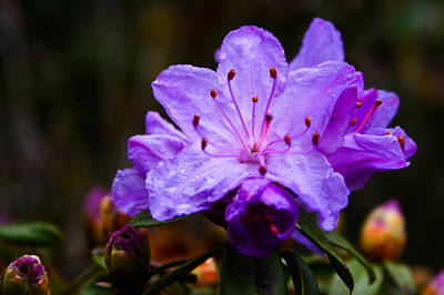 Photograph - Rhododendron by Joseph Bowman