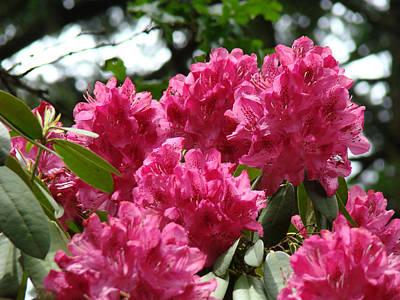 Rhododendrons Garden Art Prints Pink Rhodies Floral Art Print by Baslee Troutman