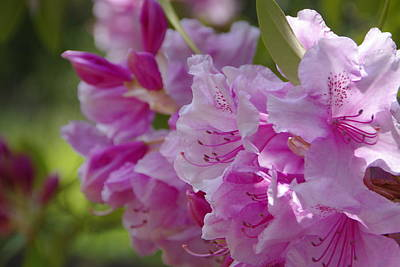 Photograph - Rhododendrons by Marilyn Wilson