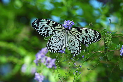 Idea Leuconoe Photograph - Rice Paper Butterfly, Idea Leuconoe by Darlyne A. Murawski