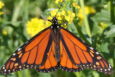 Photograph - Rich Colored Monarch  by Mark J Seefeldt