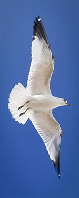 Photograph - Ring Billed Gull by Patrick M Lynch