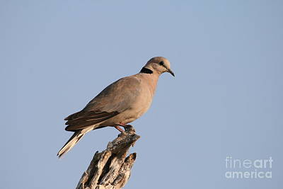 Wall Art - Photograph - Ring-necked Dove by Judith Hochroth