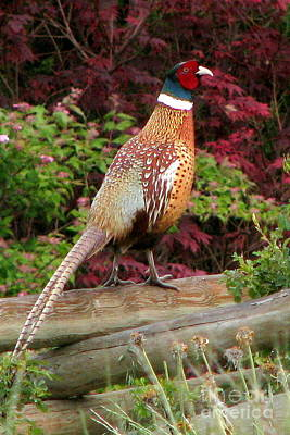 Photograph - Ring-necked Pheasant by Frank Townsley