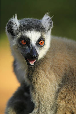 Ring-tailed Lemur Calling Art Print by Cyril Ruoso