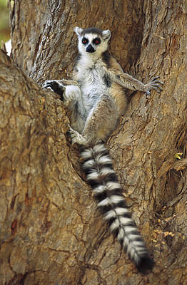 Ring-tailed Lemur In A Tree Art Print by Cyril Ruoso
