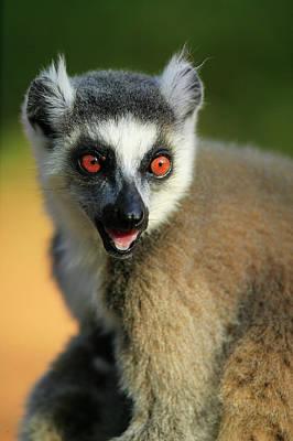 Ring-tailed Lemur Lemur Catta Portrait Art Print