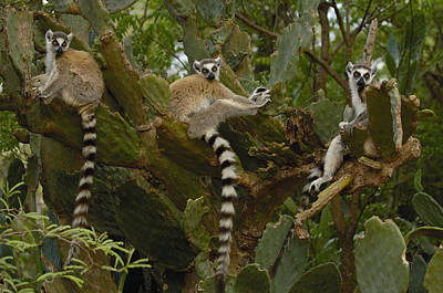 Ring-tailed Lemur Lemur Catta Trio Art Print