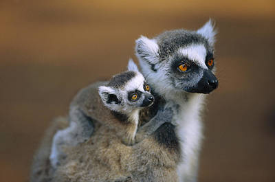 Ring-tailed Lemur Mother Carrying Baby Print by Cyril Ruoso