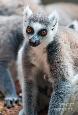 Animals Photograph - Ring Tailed Lemurs by Andrew  Michael
