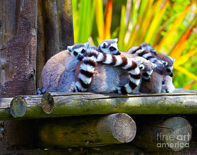 Lemur Catta Photograph - Ring-tailed Lemurs by Gabriela Insuratelu