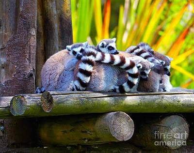 Ring-tailed Lemurs Art Print by Gabriela Insuratelu