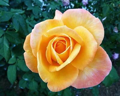 Ringling Rose Original