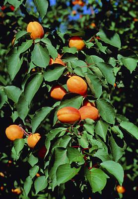 Ripe Apricots Growing On A Branch Art Print by Kaj R. Svensson