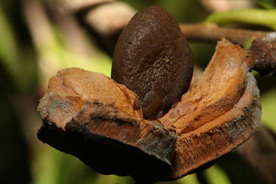 Photograph - Ripe Camellia Seed Pod by Gregory Scott