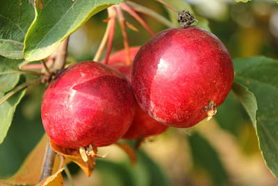 Plants Photograph - Ripe Crabapples by Jim Sauchyn