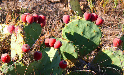 Photograph - Ripe Prickly Pear Cactus by Roena King