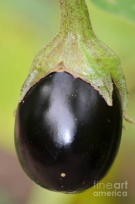 Photograph - Ripened Eggplant by Maria Urso